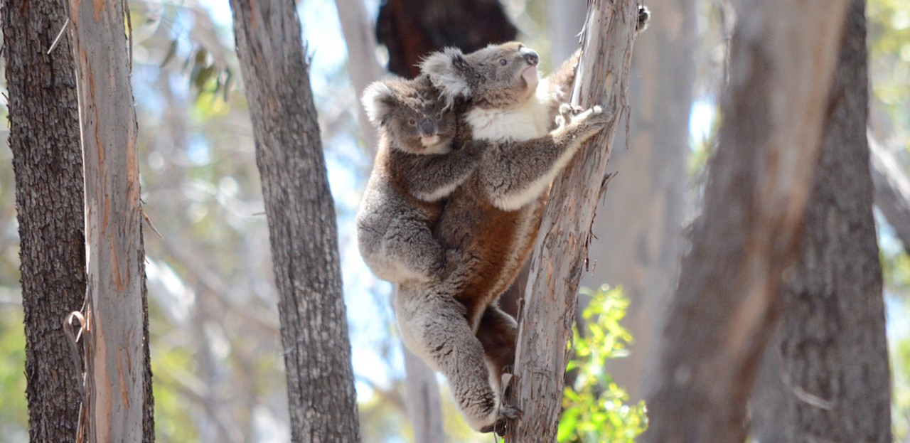 Wild Koala Day at Avalon Airport